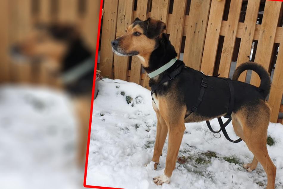 Hundefreunde aufgepasst: Pebbles sucht eine Familie mit Erfahrung