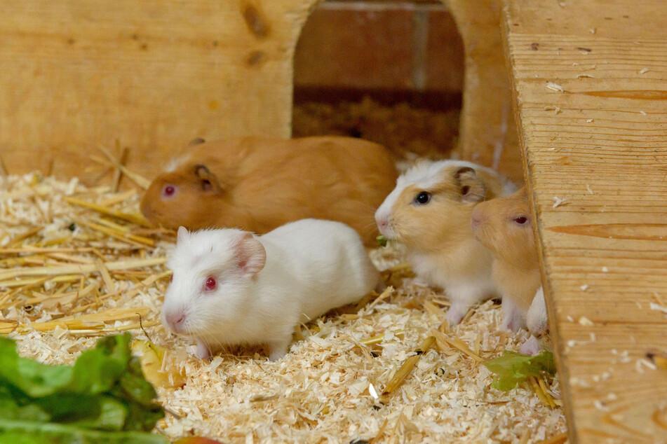 Erholung im Tierheim: Die Pfleger retteten 16 verwahrloste Meerschweinchen aus einer Chemnitzer Wohnung.