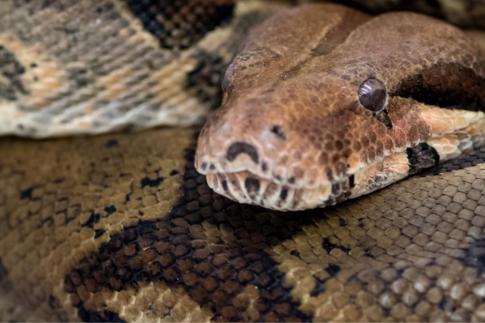 Das Bild zeigt eine Boa Constrictor. Eine solche Schlange wird gerade in Landshut vermisst. (Symbolbild)