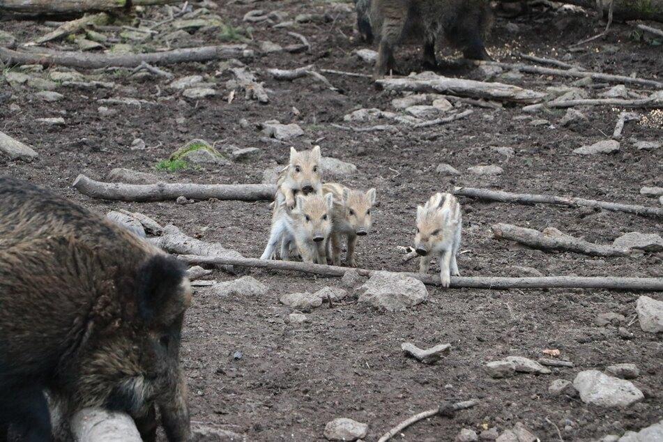 Auch bei den Wildschweinen im Wildgatter gab es Nachwuchs.
