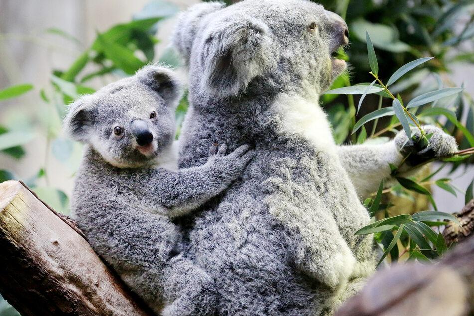 Koalabär-Mama Gooni frisst mit ihrem gut sieben Monate alten Nachwuchs im Zoo Eukalyptusblätter. Die Zoos in NRW haben durch die Corona-Schließungen und Besucherbegrenzungen im vergangenen Jahr Millionen an Einnahmen eingebüßt und leben derzeit von ihren Rücklagen.