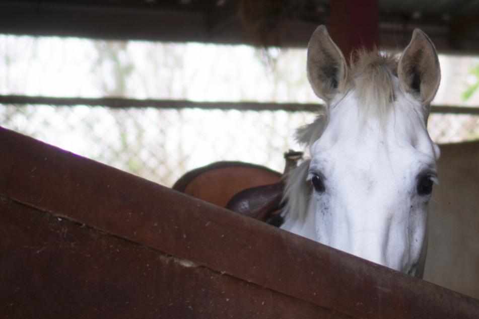 Pferd in Stall zu Tode gequält, Verletzungen im Genitalbereich