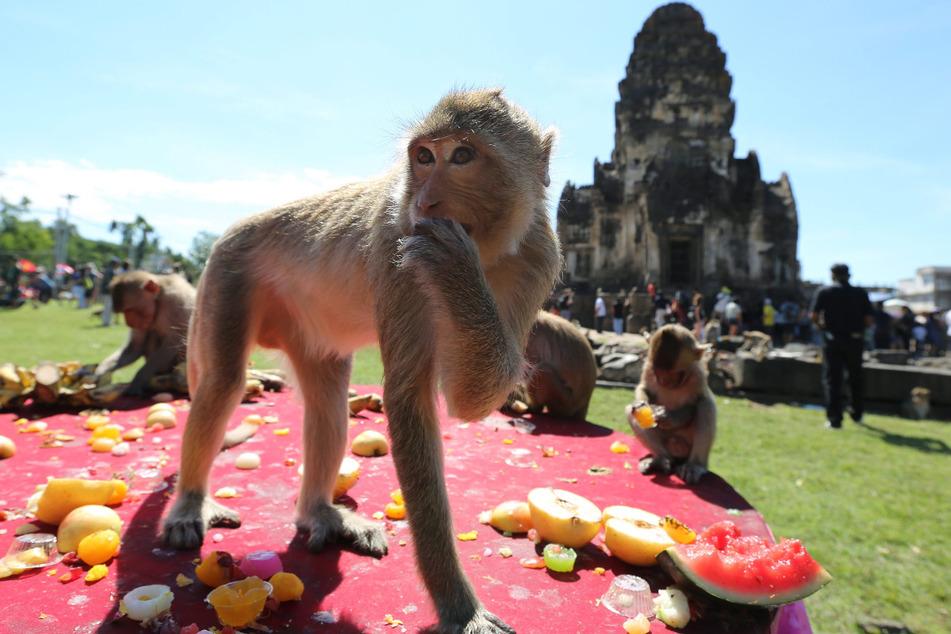 Affen fressen während des Affen-Festivals im thailändischen Lopburi Früchte.