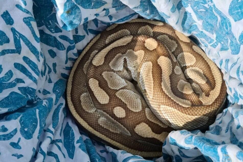 Die Würgeschlange wurde einer Auffangstelle in Stolberg übergeben. Wer die Schlange aussetzte, ist nicht bekannt.