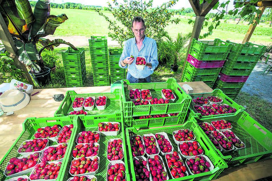 Um die Haltbarkeit zu testen, werden die gepflückten Erdbeeren zwei Tage am Feldrand stehen gelassen.
