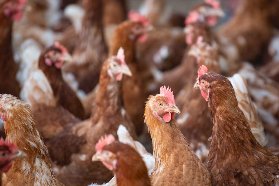 Hühner müssen gegen die neue Tierreich geimpft werden. (Symbolbild)