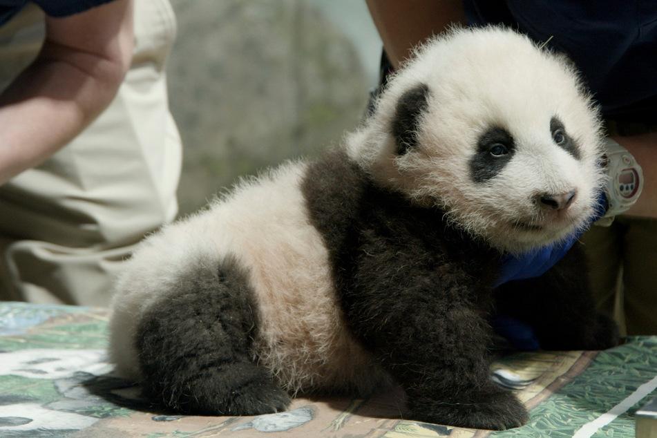 """""""Kleines Wunder"""" im Zoo Washington: Pandababy erhält außergewöhnlichen Namen"""