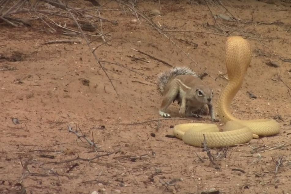 Die beiden Tiere lieferten sich ein äußerst spannendes Duell.