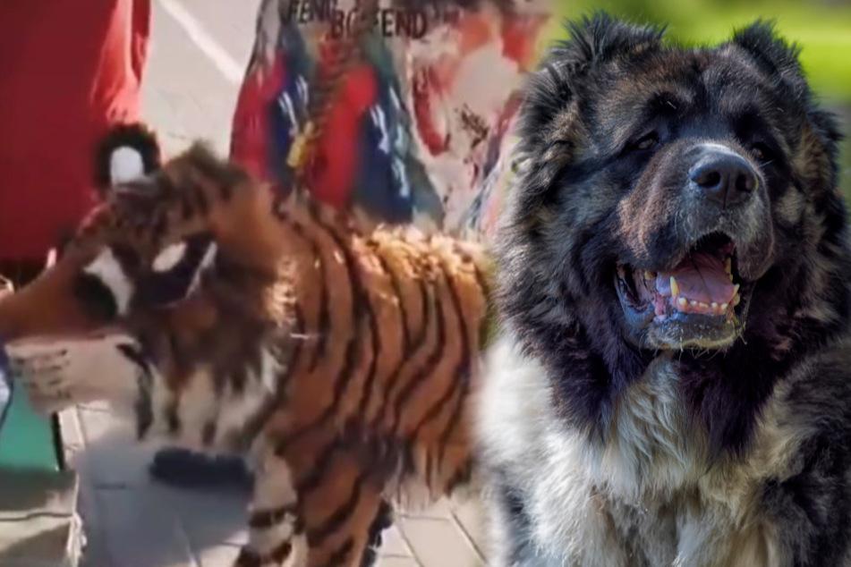 """Der """"Tiger"""" war ein Kaukasischer Owtscharka (Bildmontage)."""