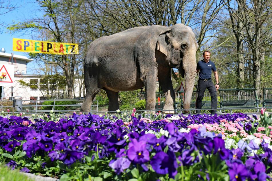 Baden-Württemberg: Elefantenkuh Nanda geht zusammen mit Revierleiter Robert Scholz durch den menschenleeren Zoologischen Stadtgarten Karlsruhe spazieren.