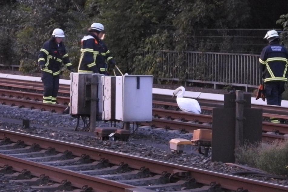 Hamburg: Schwäne legen Bahnverkehr in Hamburg lahm: Feuerwehreinsatz