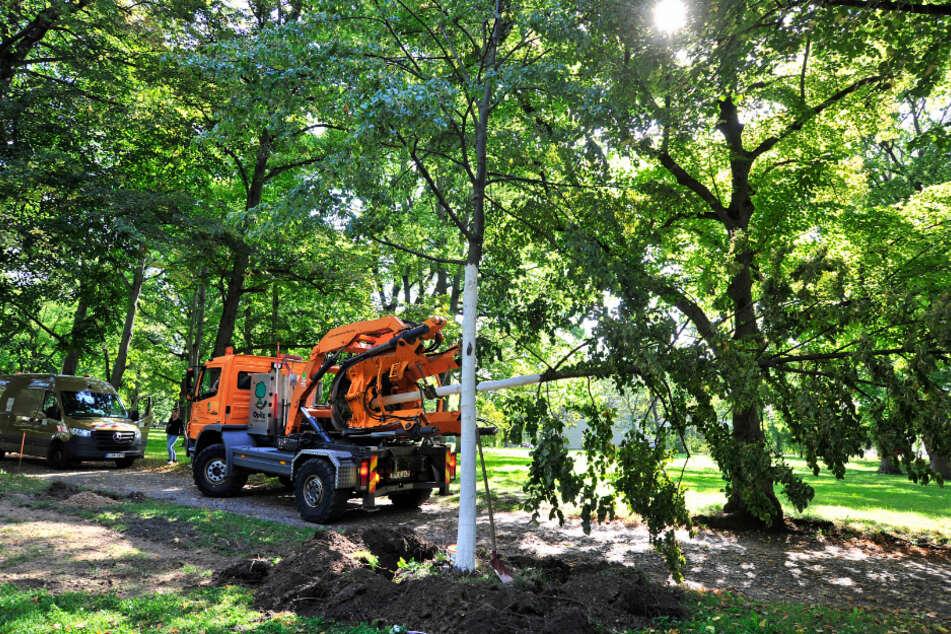 Rettet die Bäume! Das machte im September das Grünflächenamt mit zwei Linden.