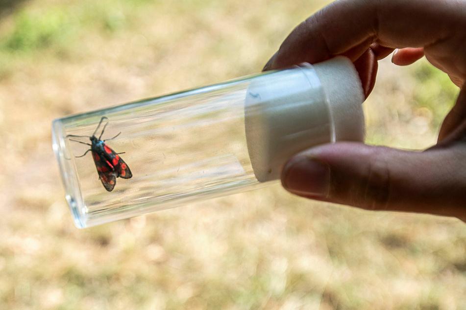 """Eine Schmetterlingsart: Auch Widderchen konnten die Teilnehmer des NABU- und NAJU-""""Insektensommers"""" fangen und aus nächster Nähe inspizieren."""