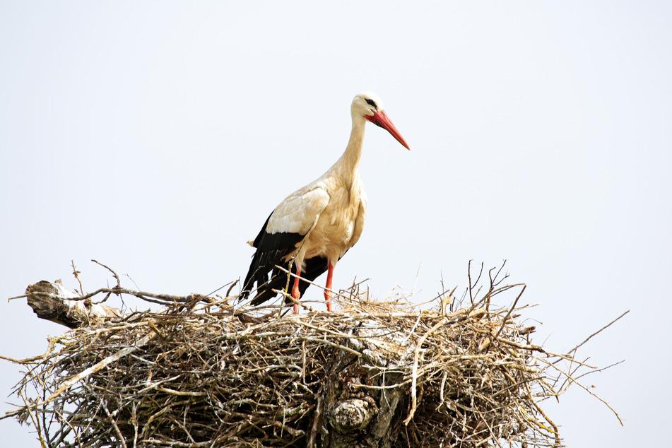 Ein Weißstorch in seinem Nest (Symbolbild).