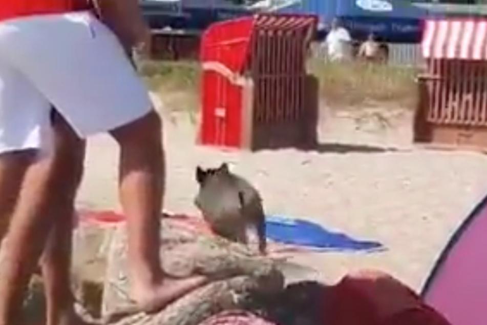 Dann rennt das Tier zwischen den Strandkörben davon.