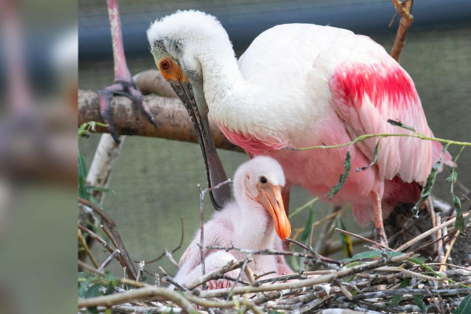 Etwa 90 Vögel in 20 Arten mussten in Limbach-Oberfrohna getötet werden, auch Rosa-Löffler. (Symbolbild)