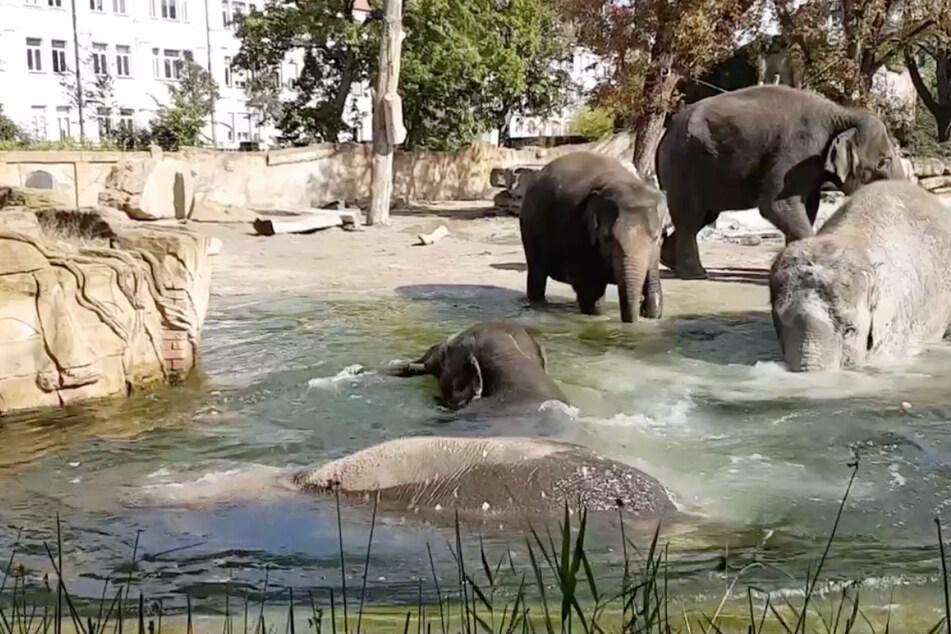 Die frisch angekommenen Dickhäuter erfrischen sich im Badebecken des Leipziger Elefantengeheges.