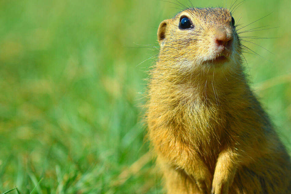 Bringen Murmeltiere die Pest zurück? Mongolei warnt vor Tier-Kontakt