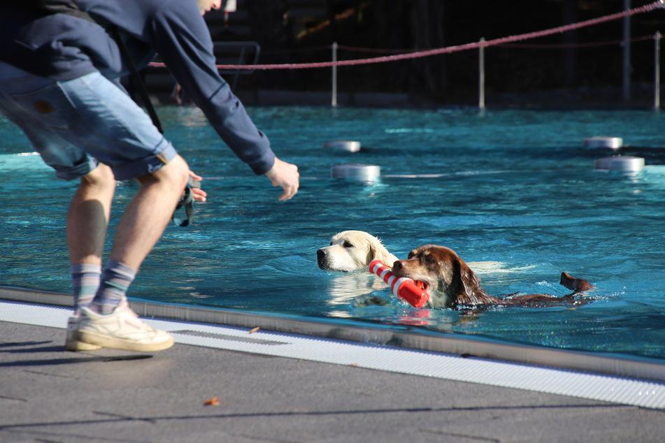 Zwei Vierbeiner drehen beim 7. Kölner Hundeschwimmen im Freibad am Müngersdorfer Stadion eine Runde im Becken.