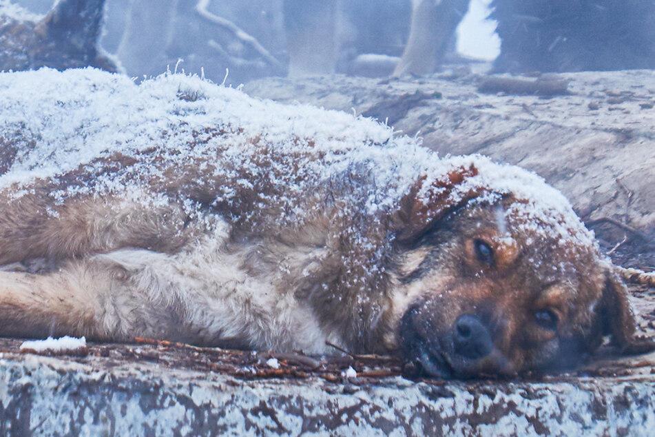 Hund friert im Schnee bei mehr als minus 50 Grad fest und kann nur noch den Kopf bewegen