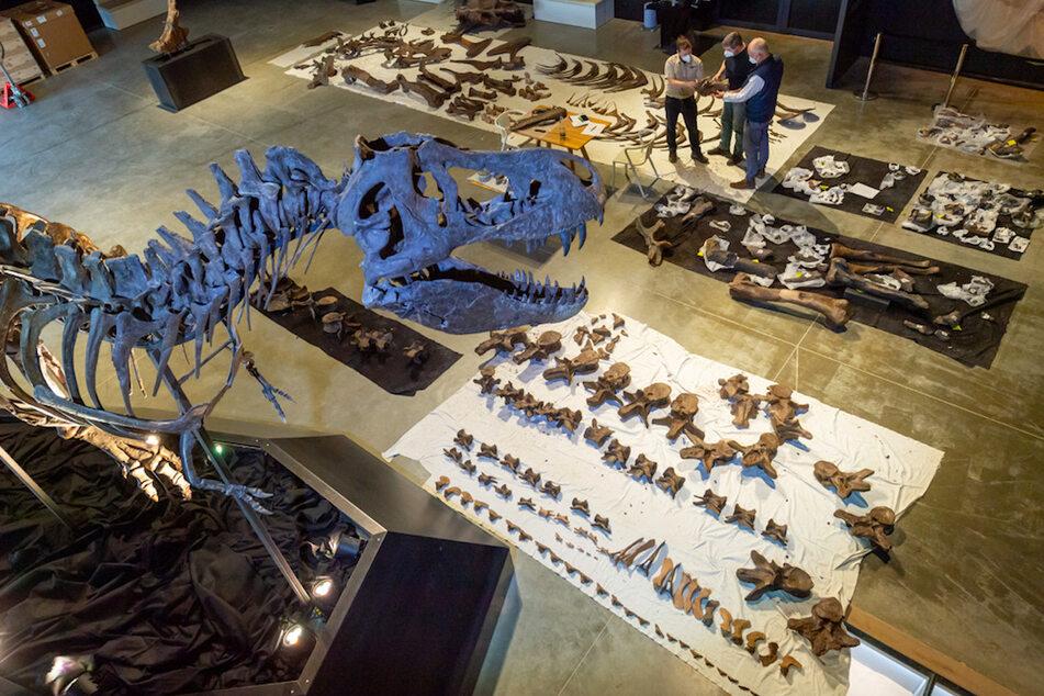 Auftrag von US-Millionär: Dino-Forscher präparieren komplettes T-Rex-Skelett!