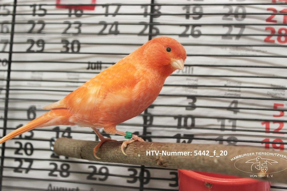 Wisst Ihr, wem dieser orangene Piepmatz gehört?