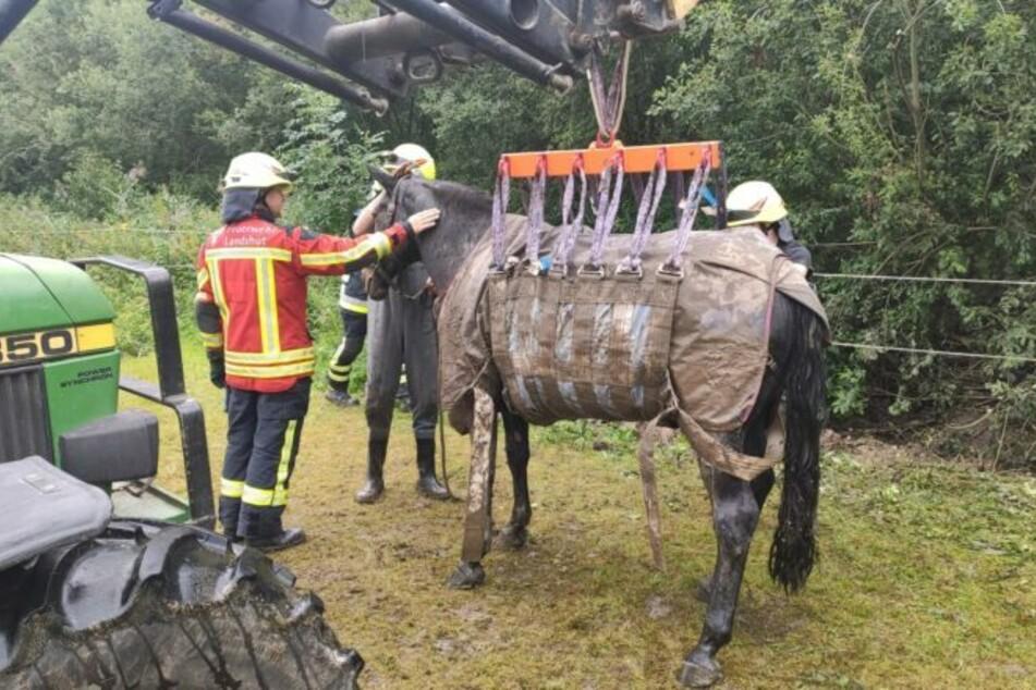 Endlich befreit! Mit einem speziellen Tierhebegeschirr zog ein Traktor das Pferd aus dem Schlamm und stellte es auf der Koppel ab.