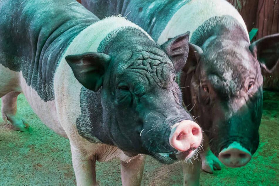 Die Schweine ernährten sich von ihrem Besitzer (Symbolbild).