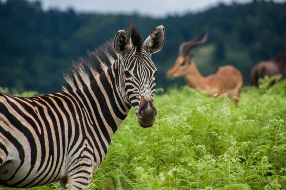 Tierliebhaber werden in Eswatini viele Motive zum fotografieren finden.