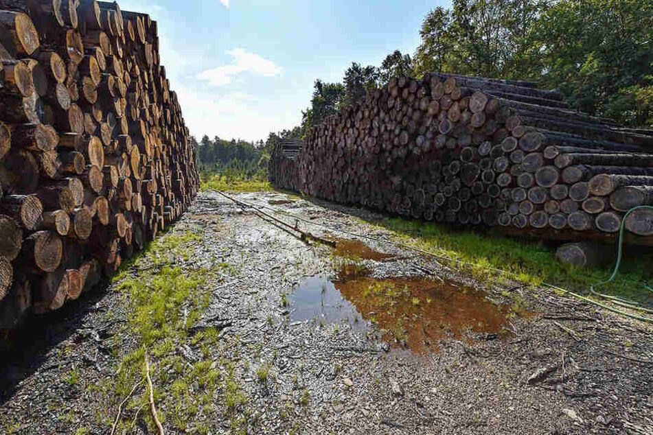 Weil der Holzmarkt gesättigt ist, lagert Sachsenforst gegenwärtig in einem Nasslager in der Forstbaumschule bestes Fichtenholz zwischen.