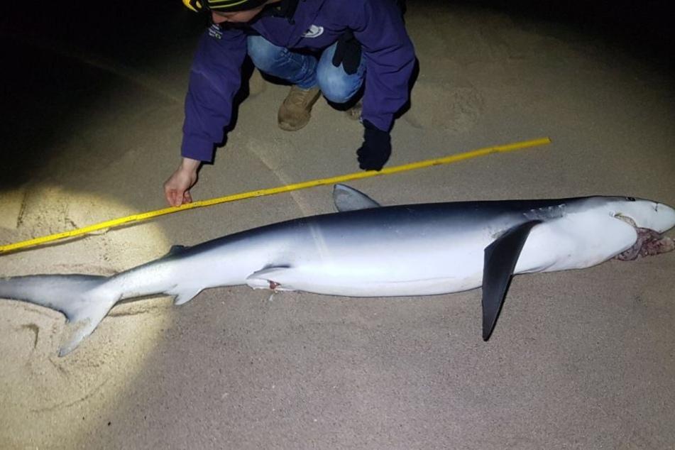 Der Blauhai ist stolze 2,25 Meter lang.