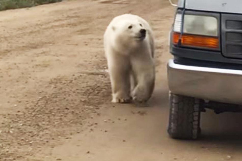 Wie putzig: Eisbär fasziniert von eigenem Spiegelbild