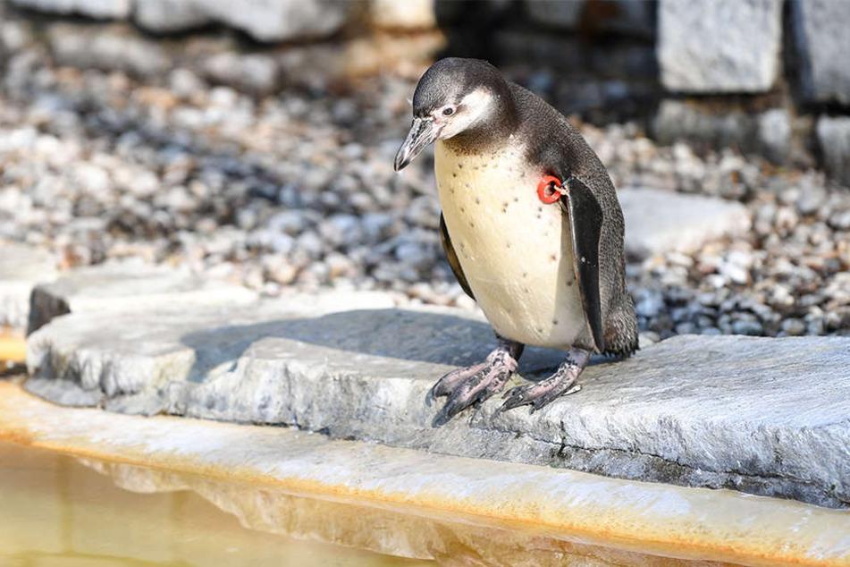Der verschwundene Humboldt-Pinguin wurde jetzt tot aufgefunden. (Symbolbild)