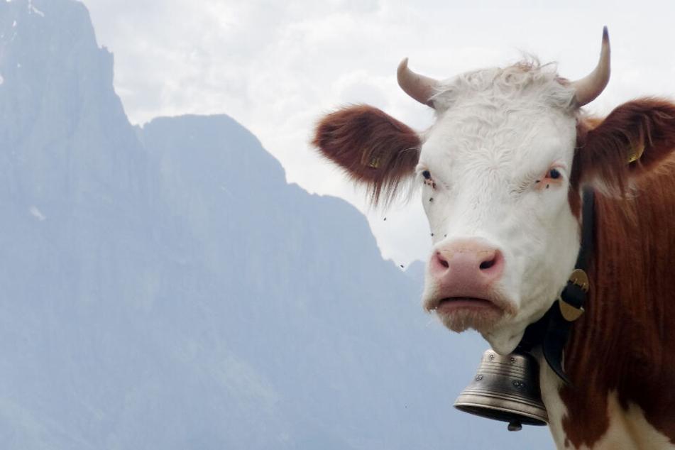 Widerspenstige Kuh soll zum Schlachter, am Ende muss ein Mensch ins Krankenhaus