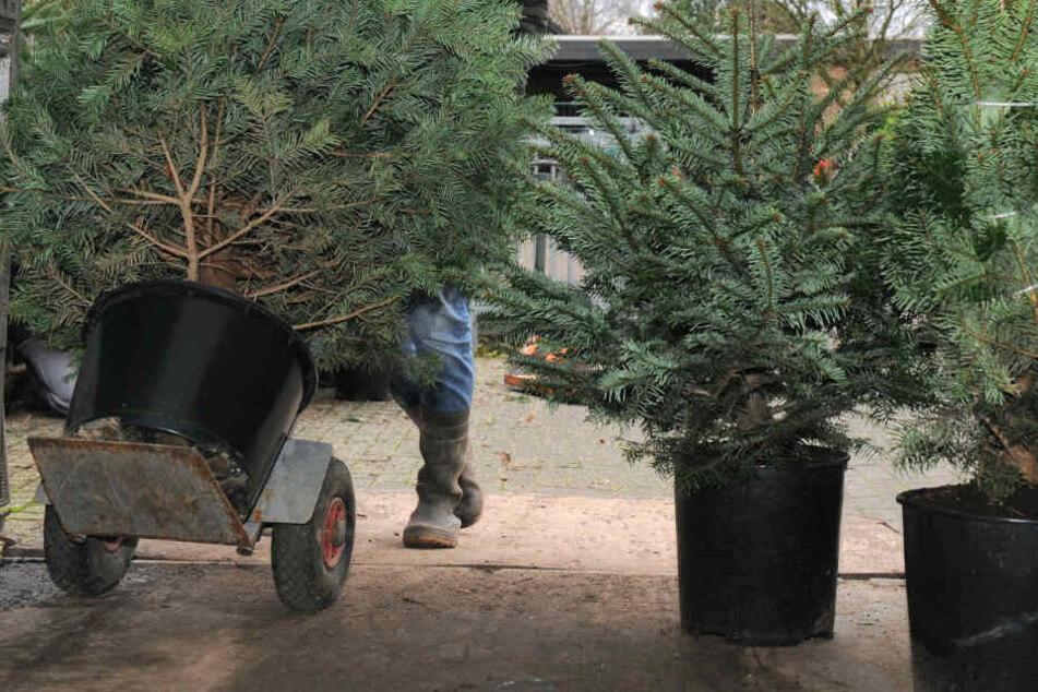 Die Bäume können mehrere Jahren hintereinander gemietet werden (Symbolfoto).