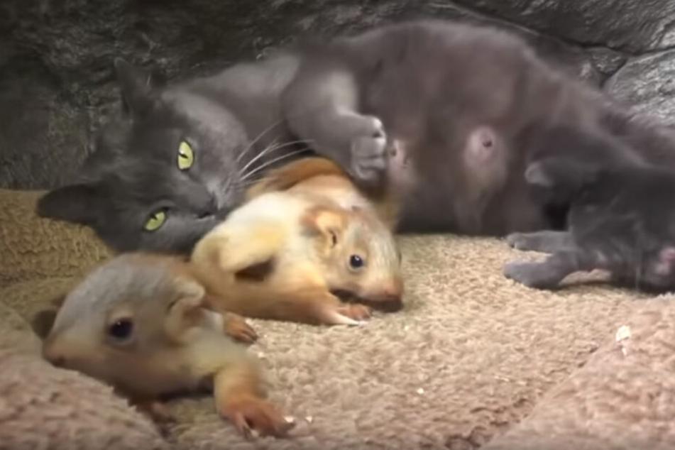 Katzenmama Puscha kümmert sich rührend um ihre eigenen Jungen und die adoptierten Eichhörnchen-Babys.