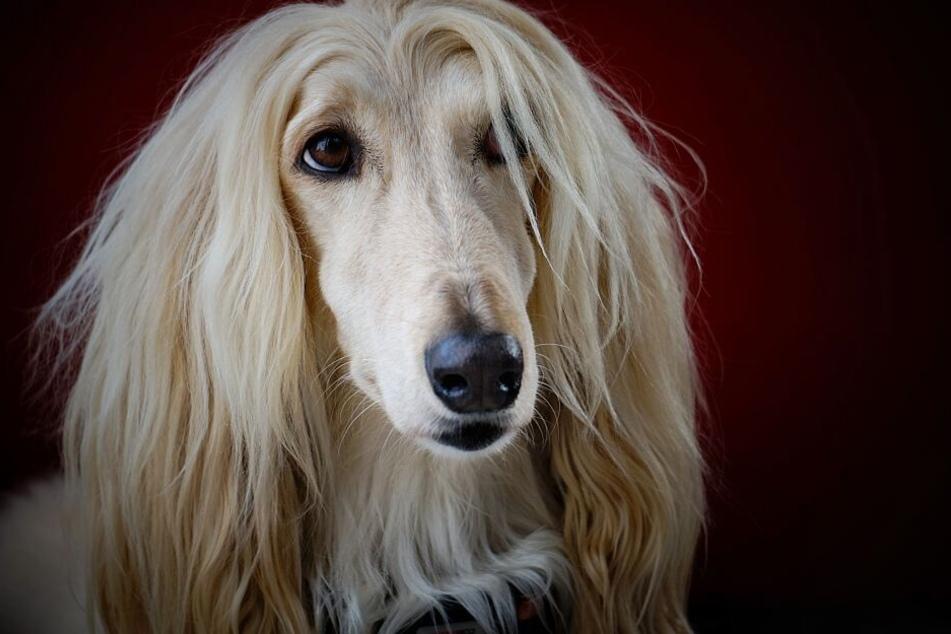 Na, wer ist denn diese süße Blondine? Afghanische Windhunde gelten als extrem eigenwillig.