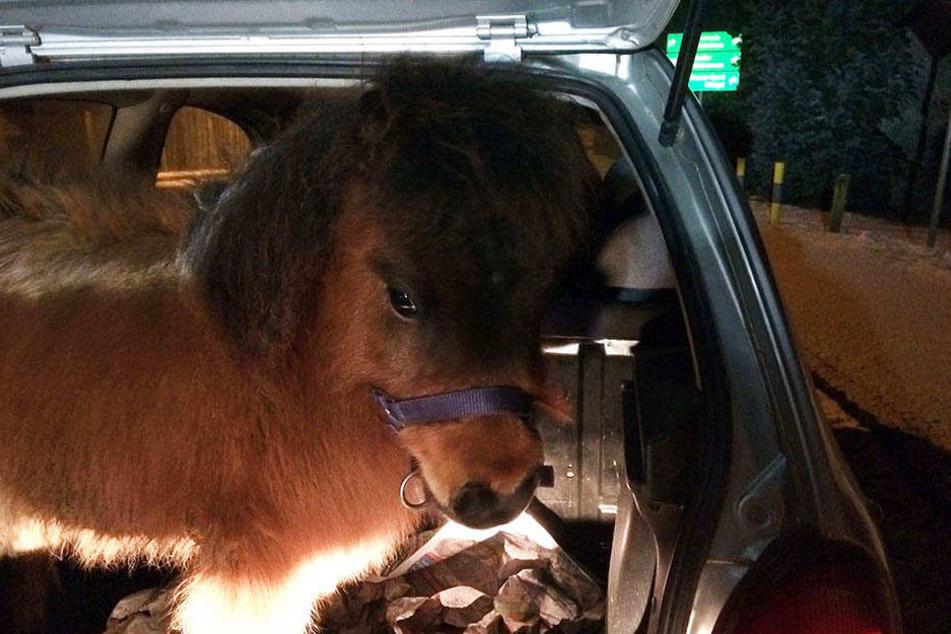 Tierischer Begleiter: Die Polizei fand dieses Pony in einem Kofferraum.