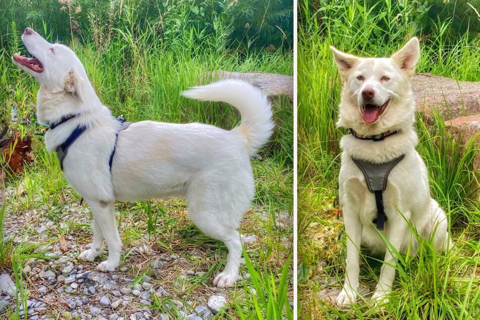 Husky-Mix Bella ist sehr zutraulich und möchte neugierig ihre Umwelt erkunden.