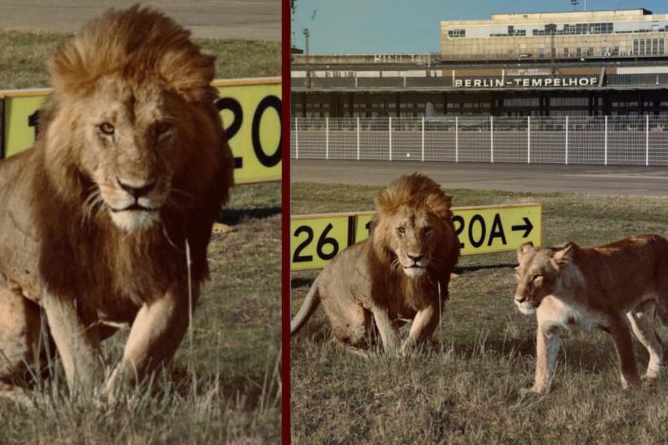 Wie kommen diese Löwen aufs Tempelhofer Feld?