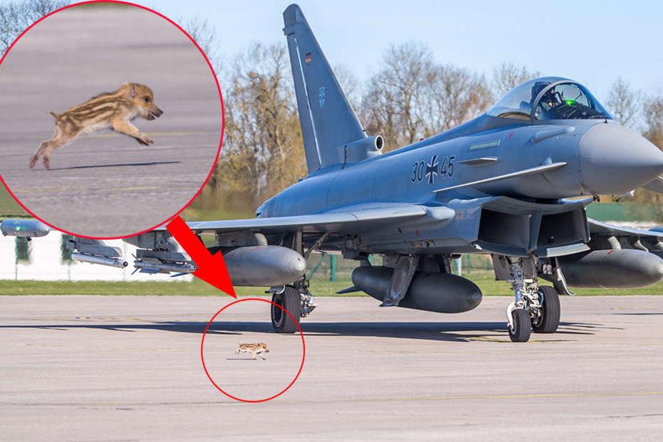 """""""Schweinchen Mutig"""" rennt Sekunden vor dem Start zum Eurofighter 30+45. Pilotin Ulrike Fitzer muss warten, bis es eingefangen ist."""