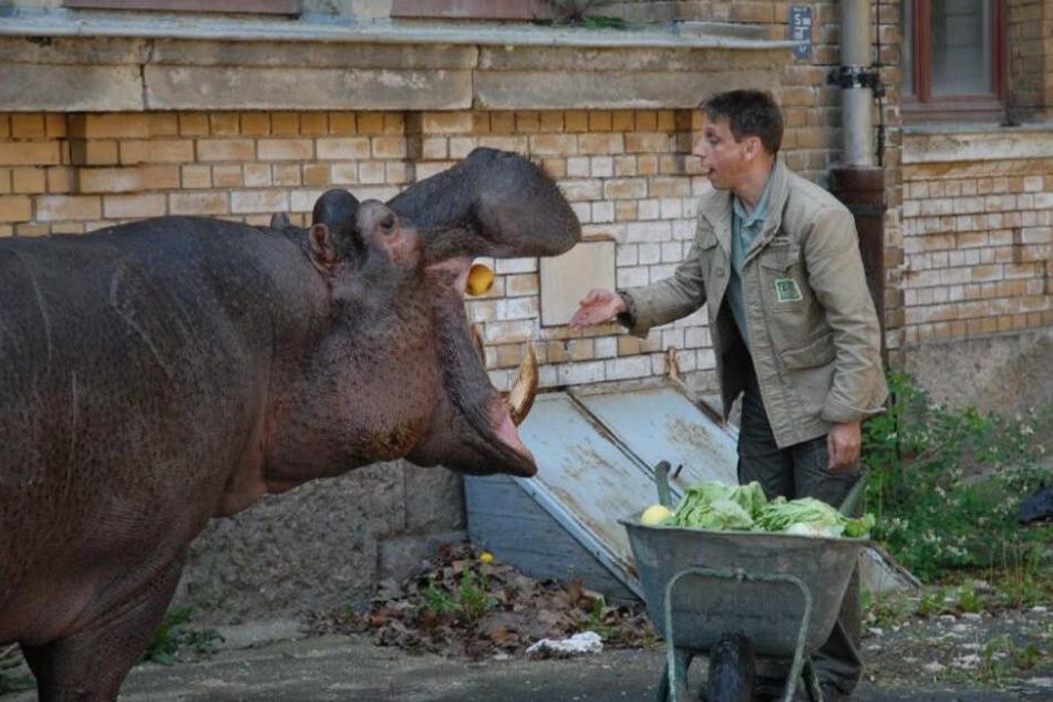 Gut gelaunt wirft ARD-Tierpfleger Conny alias Thorsten Wolf (54) dem Nilpferd einen Apfel ins große Maul.