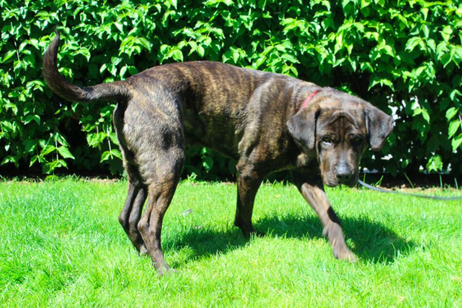 Dogo-Canario-Mix Bruno.