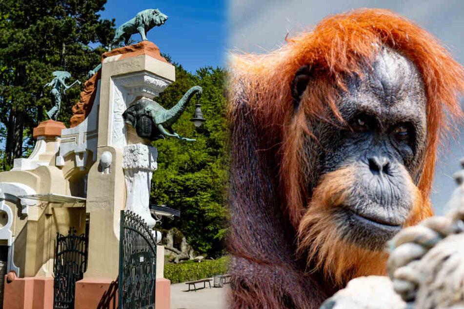 Ältester Orang-Utan der Welt steht auf besondere Würze im Grießbrei