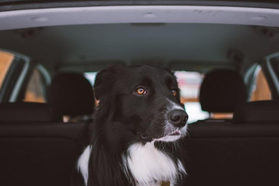 Autofahren bedeutet für einige Hunde Spaß, für andere puren Stress.