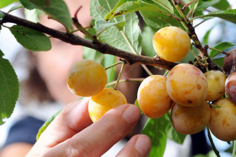 Alte Obstsorten geraten immer mehr in Vergessenheit. (Symbolbild)