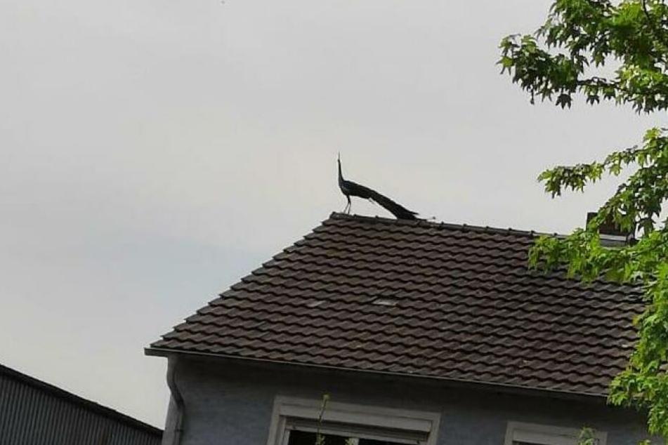 Pfaue können nur sehr schlecht und kurze Strecken fliegen.