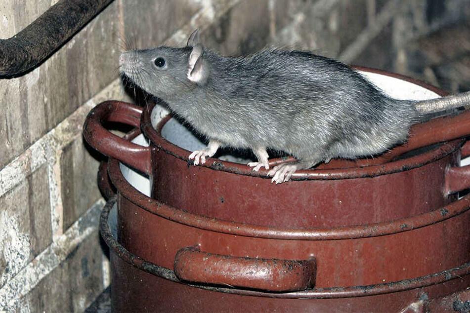 Die Ratten kommen inzwischen auch in die Häuser. (Symbolbild)