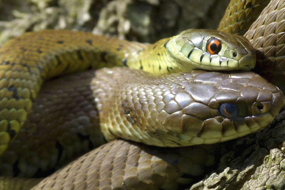 Sie beißen blitzschnell zu: Touristen-Paradies wird von Schlangenplage heimgesucht