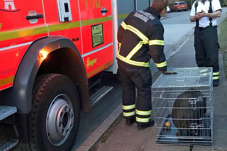 Das Schwein wurde ins Tierheim Süderstraße gebracht.